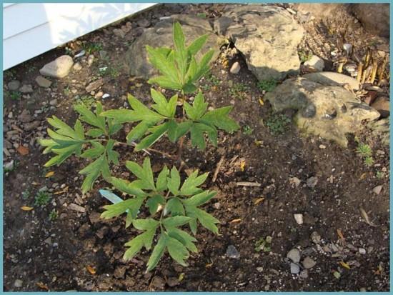как посадить древовидный пион