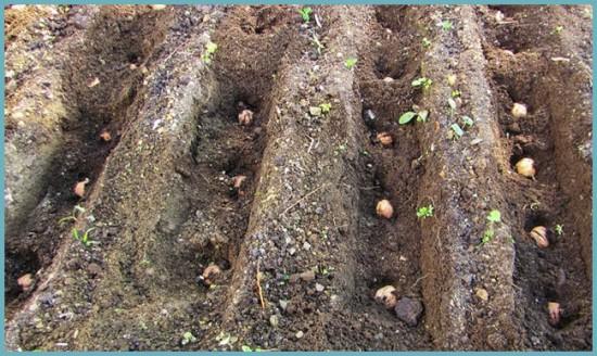 размножение ореха груцкого
