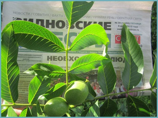 сорта ореха грецкого
