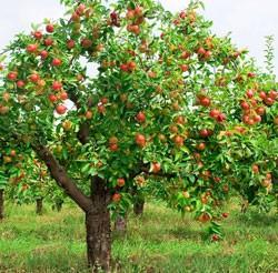 листопад дуба, рябины, яблони