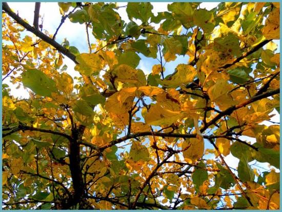 листопад яблони
