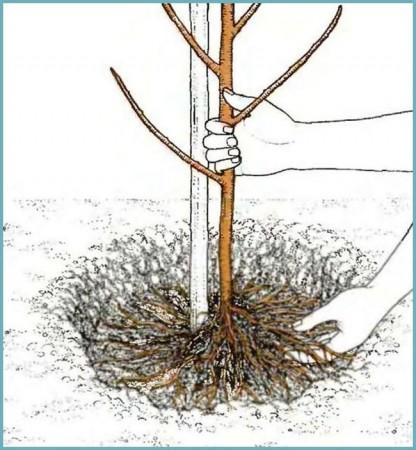 как посадить миндаль