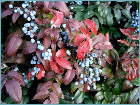 польза ягод магонии