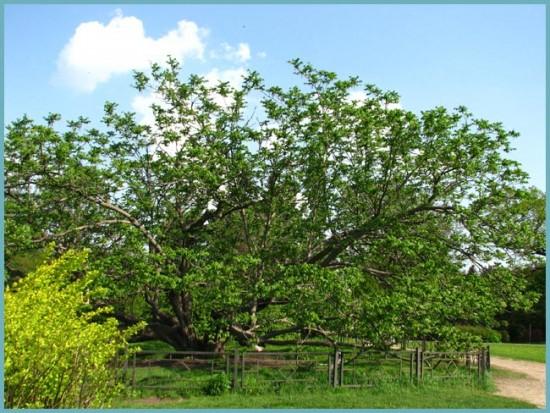 виды ореха маньчжурского
