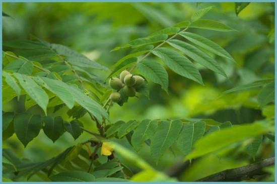 виды маньчжурского ореха