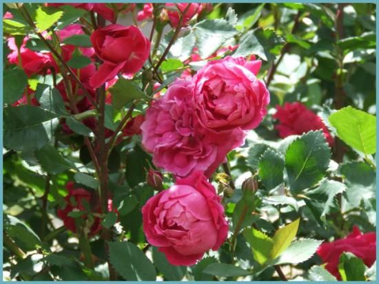 сорта парковых роз