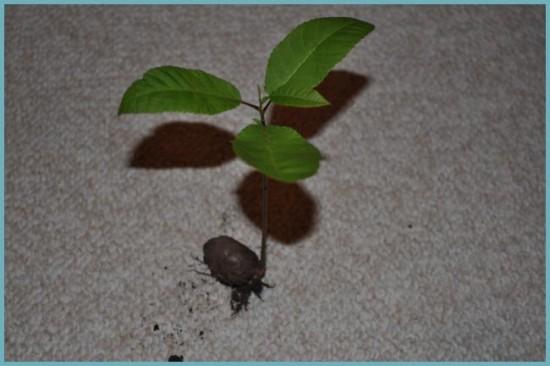 размножение ореха пекан