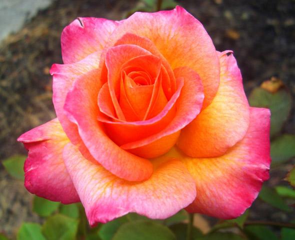 выращивание розы флорибунда
