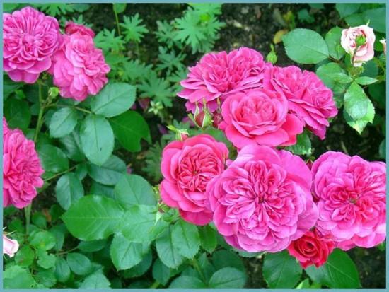 сорта розы флорибунда