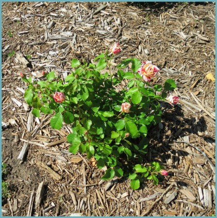 уход за розой флорибунда