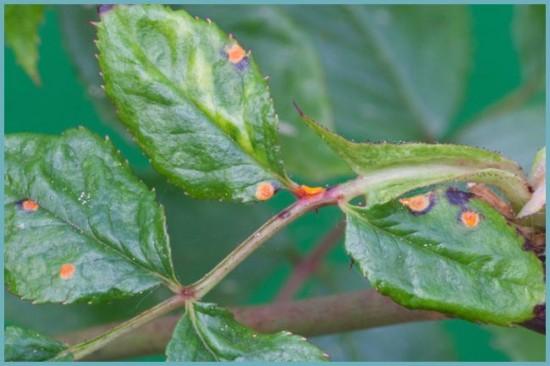 болезни штамбовой розы