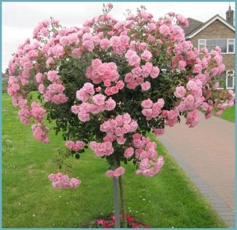 посадка штамбовой розы