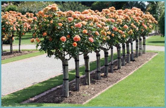 место для посадки штамбовых роз