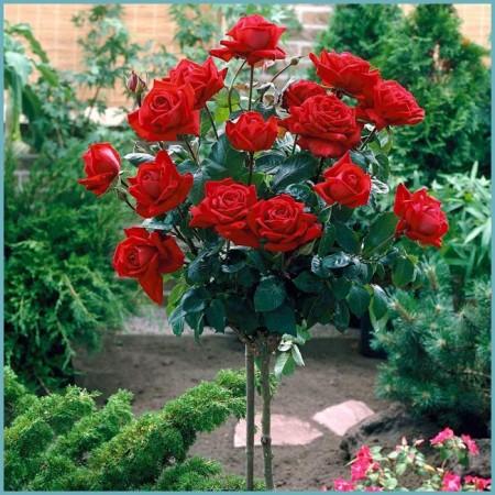 виды штамбовых роз