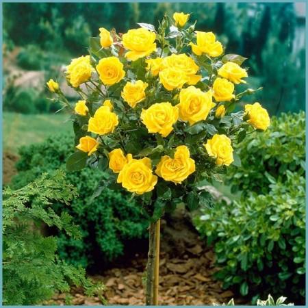 как посадить штамбовую розу