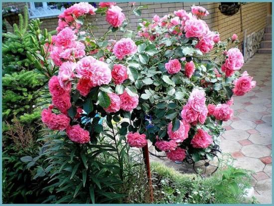размножение штамбовой розы