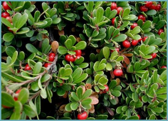 применение листьев толокнянки