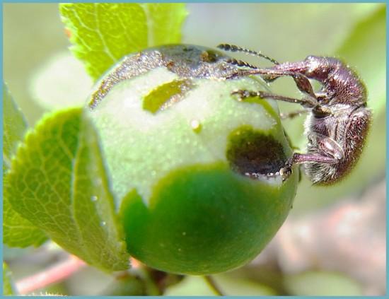 вредители вишни