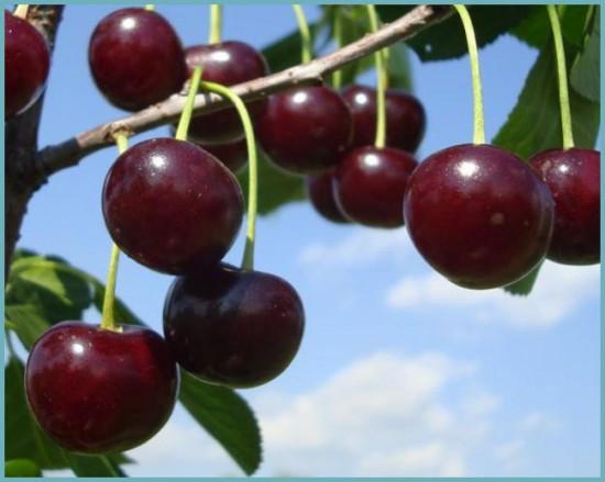 преимущества вишни шоколадницы