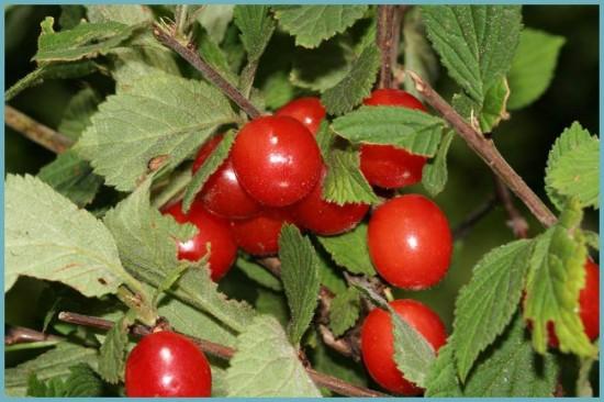 описание войлочной вишни