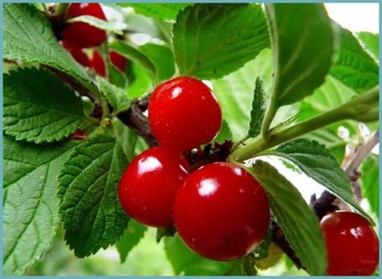 сорта войлочной вишни