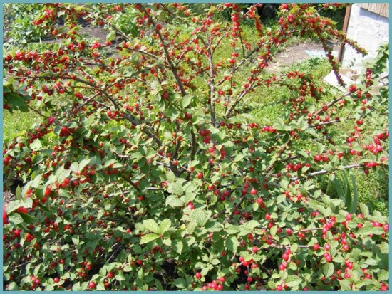 место для посадки войлочной вишни