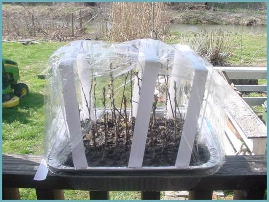 размножение войлочной вишни