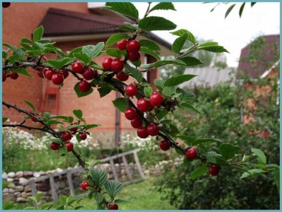 уход за войлочной вишни