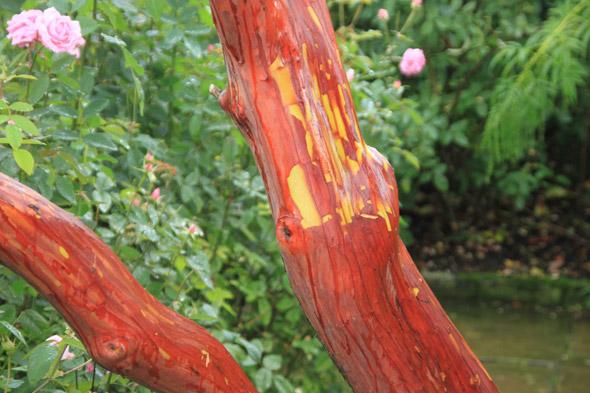 как вырастить земляничное дерево