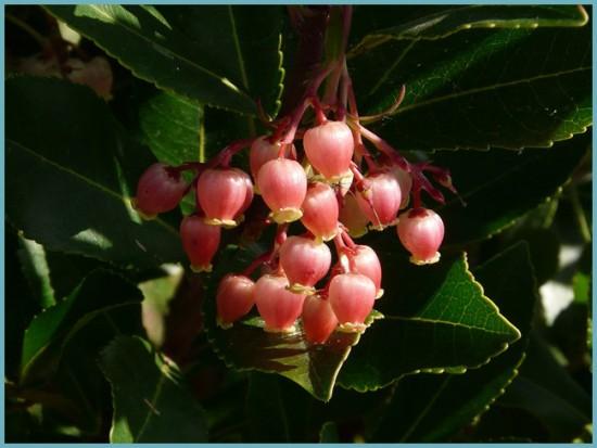 цветение земляничного дерева