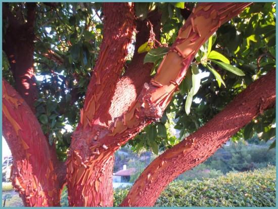 кора земляничного дерева