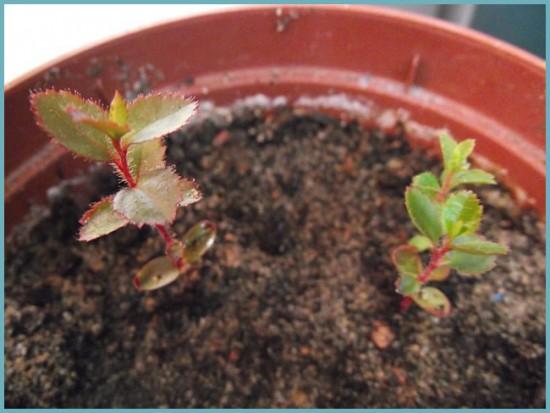 размножение земляничного дерева