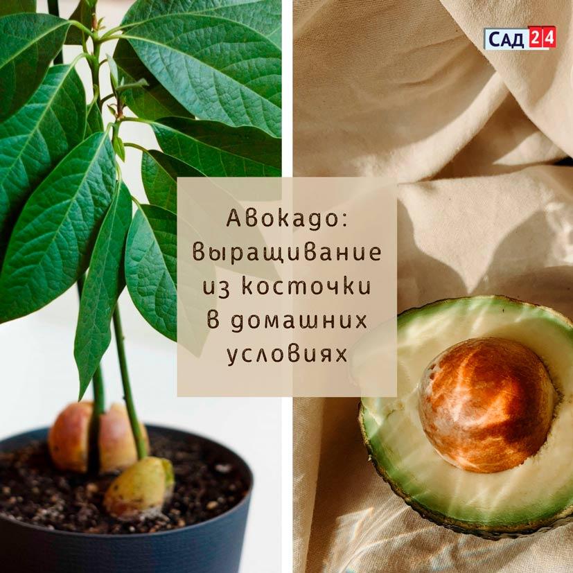 Авокадо выращивание-из-косточки-в-домашних-условиях