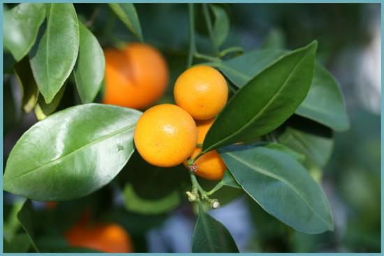 как посадить цитрофортунеллу