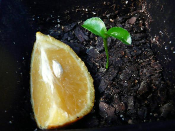 выращивание апельсина из косточки