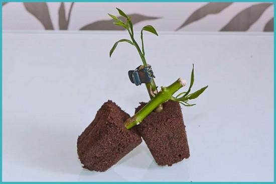 размножение апельсинового дерева