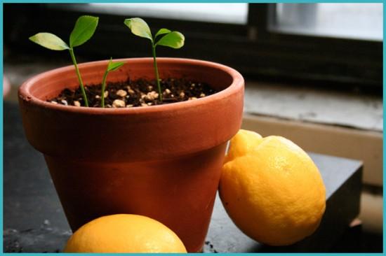 подкормка лимонного дерева