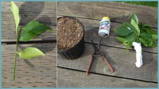 размножение лимонного дерева