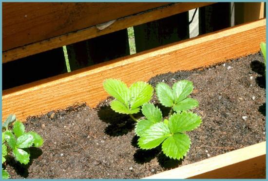 как посадить ремонтантную клубнику