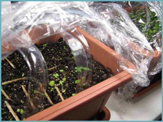 вырастить клубнику из семян