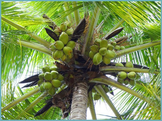 как растет кокосовая пальма