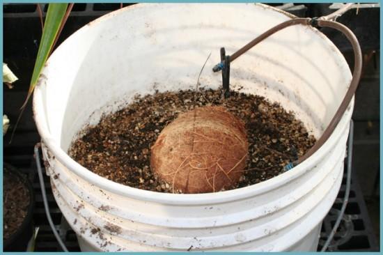 грунт для кокосовой пальмы