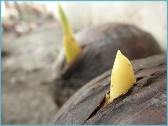 когда укоренится кокосовая пальма