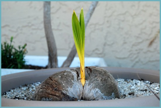 подкормки для кокосовой пальмы