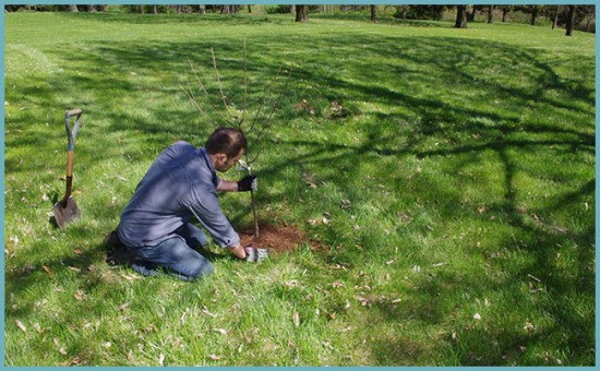 место для посадки колоновидной груши
