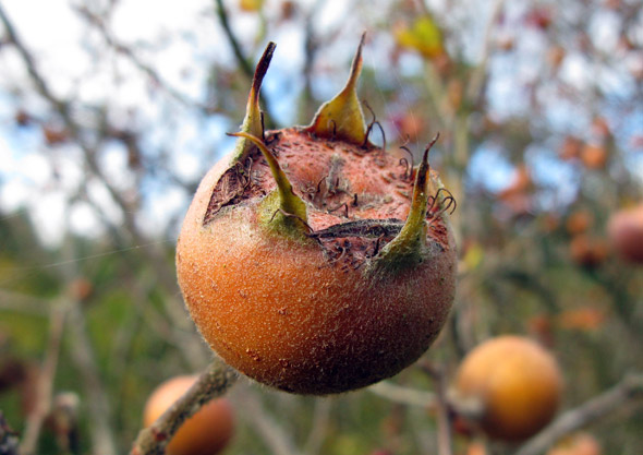 выращивание мушмулы