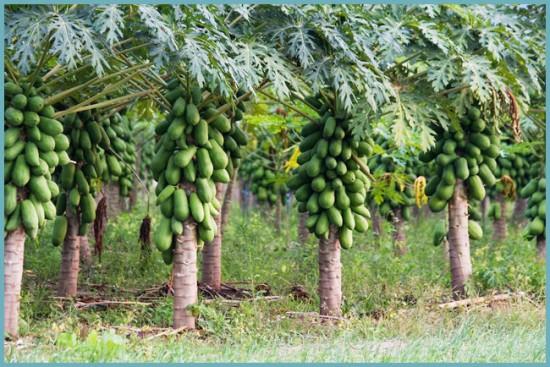 где растет папайя