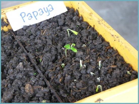 как посадить папайю