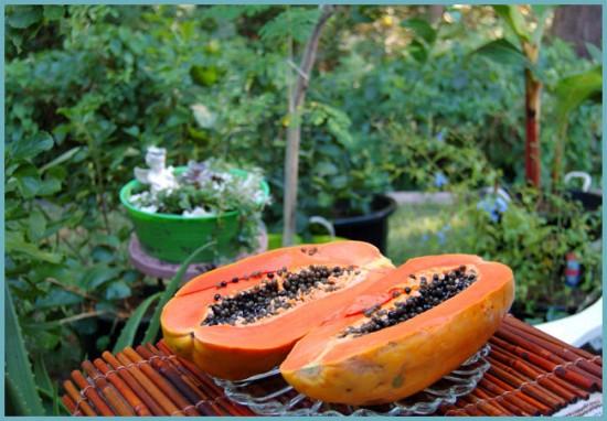 как посадить папайю из семян