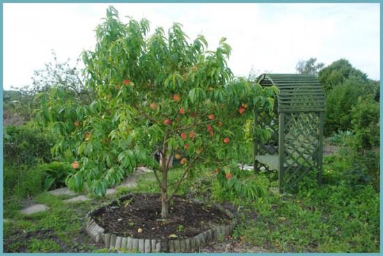 место для посадки персика